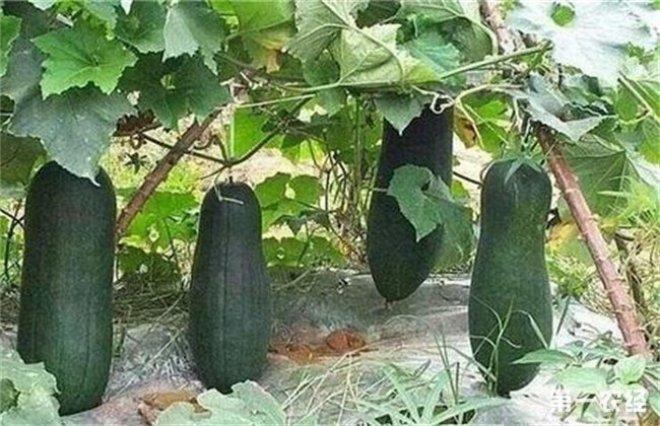 高产冬瓜要如何去种植